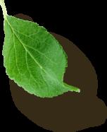 Left Leaf 4