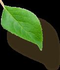 Right Leaf 3