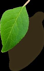Right Leaf 4